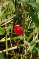Unikatowy czerwony nenufar przy pomniku JPII-1
